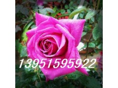 各种月季花牡丹花蜀葵花芍药波斯菊种子小苗