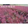 红叶小檗价格,秋季红叶小檗,红叶小檗苗木价格