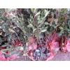 秋季红叶石楠价格沭阳红叶石楠价格