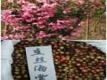 八棱海棠種子