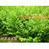 苏北苗木基地实价供应多种多样的绿化苗木彩色地被等