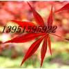 红枫青枫五角枫三角枫种子价格低廉速递全中国