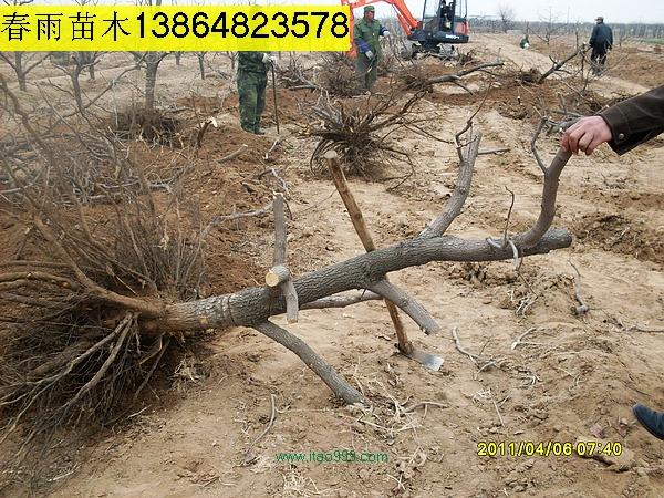 处理黄金梨树大葡萄树(占地梨树占地葡萄树)等,本公司因开发倒地急需处理有关占地苗木和生态园成品苗木,其中黄金梨树约20000棵,主要规格5-7公分,也有少量4.5公分,树形按正常生产管理,已拉枝压枝,是丰产期梨园,可用于占地梨树和生态园成品梨树苗木;红得和巨峰葡萄园100亩倒地处理的大葡萄树,直径2-5公分不等,高度200公分,是典型的生态园成品葡萄树和优质占地葡萄树。同时还有酒葡萄树处理,量在50000棵左右,价格超低,先定先得。有识之士速与春雨苗木http://miaomu.