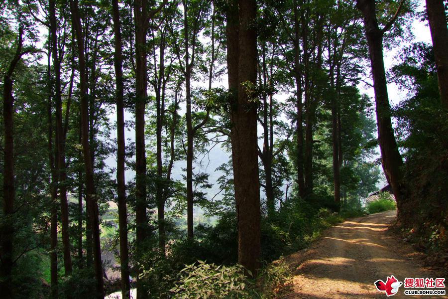 金丝楠木树图片 金丝楠木产地