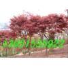 踏平釣魚島抵制日貨 砍掉日本紅楓再種中國紅楓