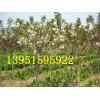 种植紫薇紫叶桃红叶李樱花海棠红枫的适宜株行距