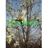杜絕日貨壯大自我繁殖紫白玉蘭木瓜銀杏梅花和國槐利國利民