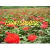 紅帽薔薇豐花月季多種多樣多姿多彩棣棠紅瑞木木槿