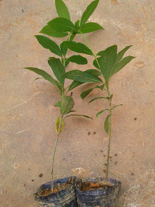 金丝楠木树苗价格|绿化小苗|苗木|苗木报价|597苗木