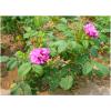 平阴玫瑰基地常年供应四季玫瑰苗,低价、低价、