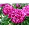 牡丹芍藥碗蓮玫瑰花月季花鳶尾臘梅蝴蝶蘭蜀葵種子多少錢一斤
