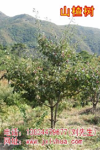 供应苹果树/山楂树/山桃树/山杏树/核桃树/核桃苗