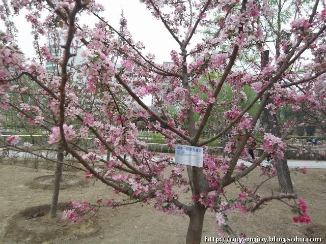 09:杏树:金太阳,凯特,意大利1号,双甜巨杏,大棚王,黄金玉等.