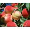 南方种什么桃苗好/优质肥桃苗,苹果苗,梨树苗,泽雨苗圃