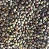 南方红豆杉种子红豆杉种子价格