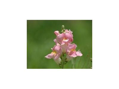 鸡冠花图片大全 花卉图片 花卉 597苗木网