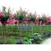 最好紫薇、紫叶李、紫玉兰、三角枫、大叶女贞、红叶碧桃供应商