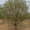 八棱海棠树价格管理 八棱海棠之乡