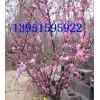 大花榆叶梅美人梅红绿梅垂梅腊梅种植行情好有钱图有前途