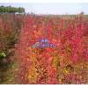 安徽肥西供應三角楓小苗H-80cm以上150萬株價格0.5元