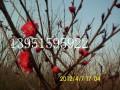 红绿梅紫叶碧桃