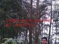 珙桐树(鸽子树)
