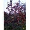 八棱海棠树价格北京的世界的花园