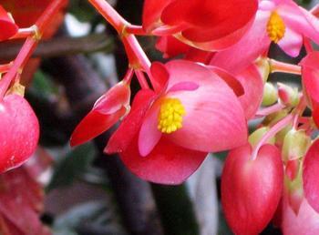 秋海棠图片大全 秋海棠介绍|花卉图片|花卉|597苗木