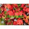 優質加拿大紅楓種子進口美國紅楓種子日本紅楓凈種子貨到付款