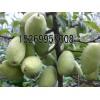 木瓜海棠图片、木瓜水苗价格、木瓜苗预定中