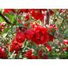 北美海棠小苗,2-12公分工程苗