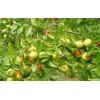 枣树苗、种植枣树苗、枣树苗价格