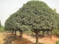 12公分精品桂花树