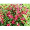 批售红王子锦带,金边冬青.紫穗槐,火棘.日本海棠