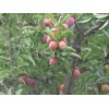供应3公分5公分6公分8公分桃树、供应山楂树梨树