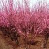 红梅、绿梅、垂梅、银芽柳、贴梗海棠、垂丝海棠、