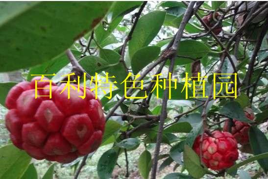 来自大山的奇特藤本植物水果——菠萝葡萄|果树小苗