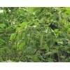 供应梓树5-15公分,杜英5-15公分,各种苗木批发