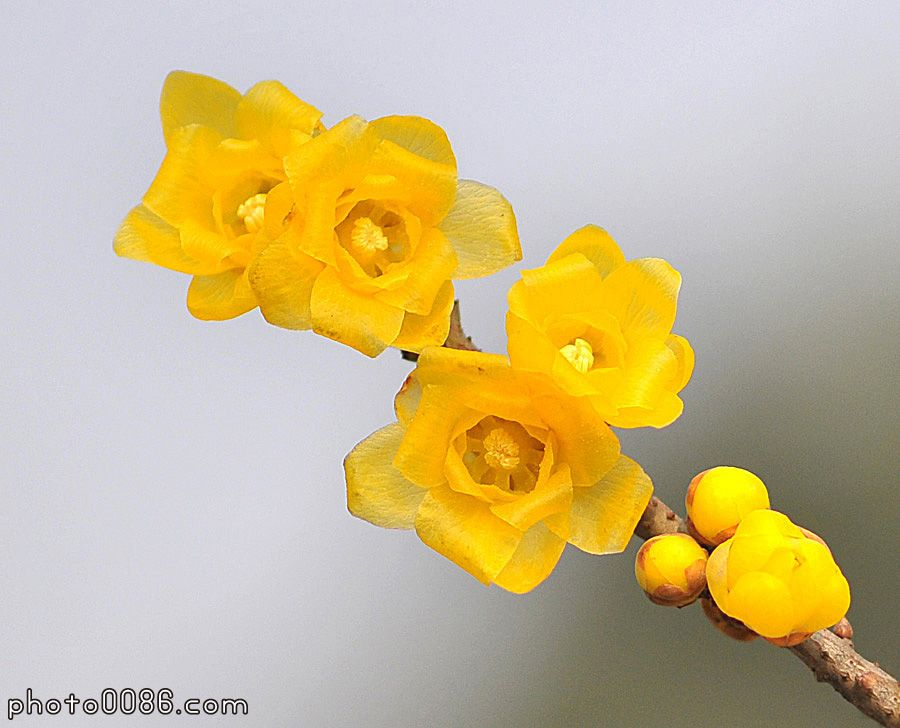 原创  小诗两首 - 白莲 - xiaosongyiy的博客