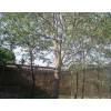 枸树 枸树小苗
