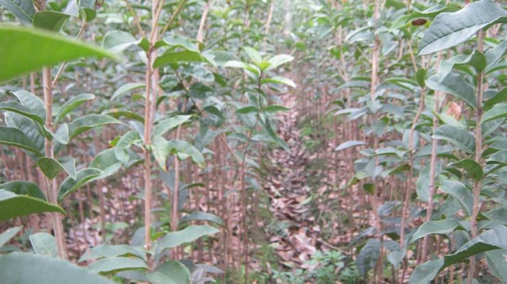 苗木种子采集和桂花小苗培育、销售经验,如果你是桂花小苗的大宗采购者,且有意于在我们原产地控制桂花小苗的价格和质量,基于我们最熟悉家乡桂花小苗的种植和分布情况、对幼苗的质量有透彻具体的了解、并希望用最本土化的方式买到最适合的桂花小苗等特点专业育苗10年 有50多万优质(30---200)cm高的桂花树小苗出售。 都是自己种的价格低廉13977336523李生欢迎来电量大有优惠另外本場還紅豆杉等珍貴苗木出售欢迎各位新老客户来电资询或亲临本场指导