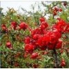 1-15公分木瓜海棠