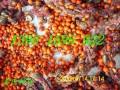 紫玉兰广玉兰种子