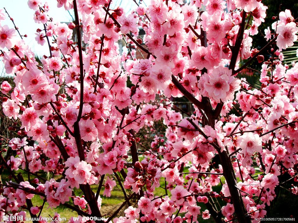 梅花图片 梅花的养殖方法|花卉图片|花卉|597苗木网