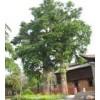 中华苗圃大量供应榉树,朴树,合欢栾树等