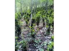 红豆杉 苗朩/曼地亚红豆杉雄树