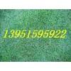 草坪特征马尼拉剪股颖特点百慕达习性狗牙根三叶草价格行情