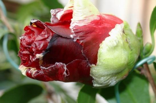 名贵盆栽植物图片