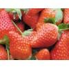草莓苗 草莓苗价格 草莓苗哪里价格低?山东优质草莓苗