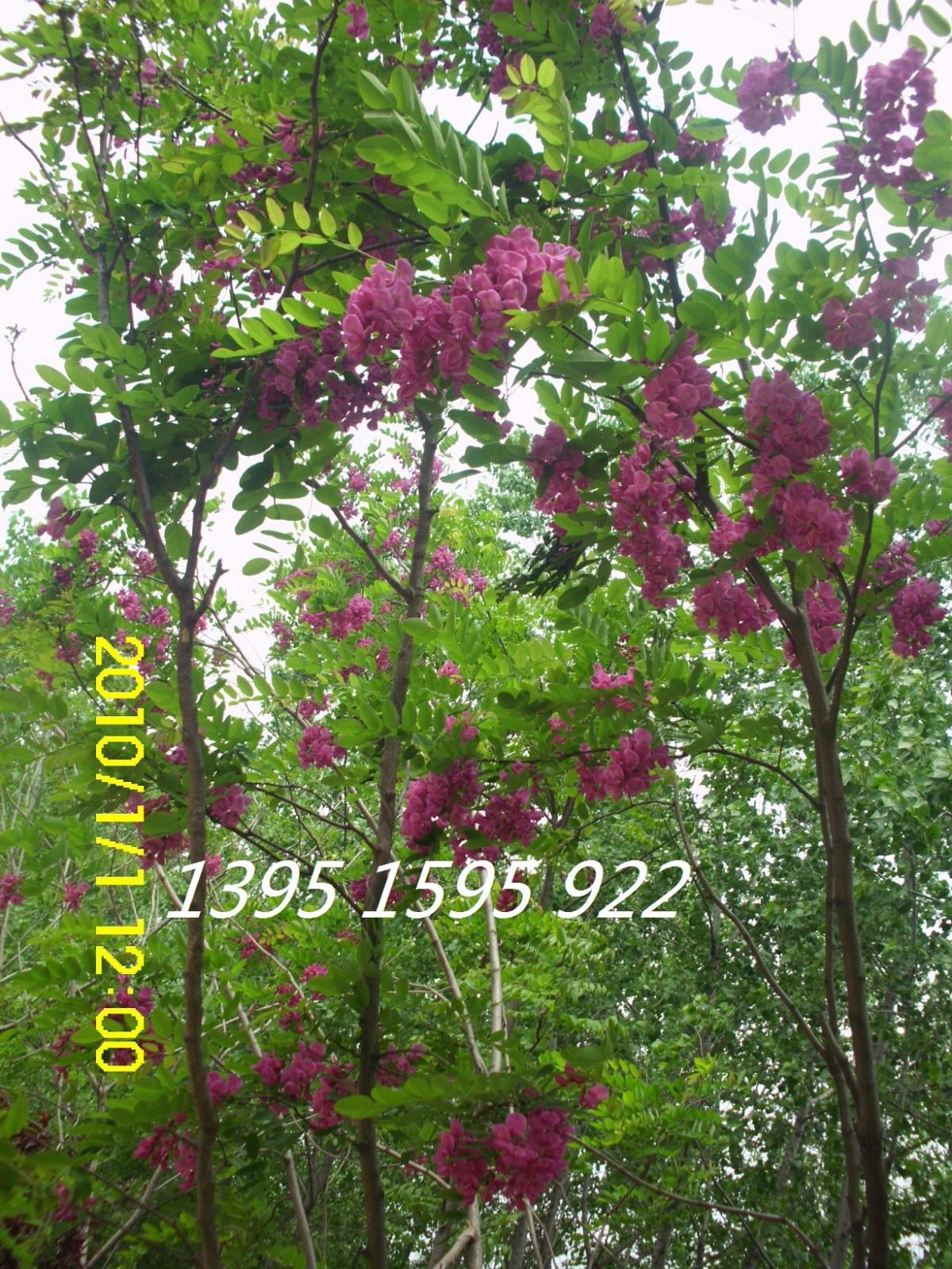 刺槐的种子很珍贵(净籽一般是30元/斤)。刺槐木材坚硬,耐腐蚀,燃烧缓慢,热值高。刺槐花还可食用。 刺槐的繁殖: 秋季,刺槐荚果由绿色变为赤褐色,荚皮变硬呈干枯状,即为成熟,应适时采种,并经日晒、除去果皮、秕粒和夹杂物,取得纯净种子。荚果出种率为10-20%,千粒重约为20g,2400粒/斤,发芽率为80-90%。选择有水浇条件、排水良好、深厚肥沃的砂壤土育苗最好;土壤含盐量要在0.